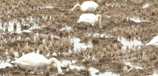 (白鳥の「スワン」の目線から、生きものと水辺・湿地の関係を考えていく)